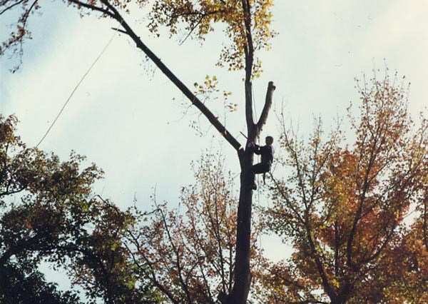 Shreiner Tree Care working on a poplar tree in 1989