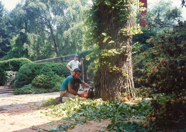 Shreiner Tree Care working on an elm tree in gladwyne, 1991