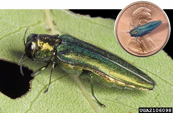 Shreiner Tree Care - Emerald Ash Borer